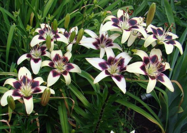 Patricia's Pride – Asiatic Lily